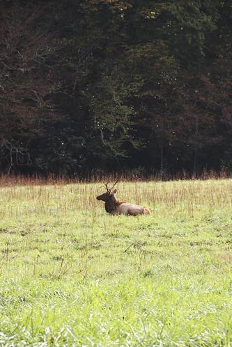 Eastern Elk