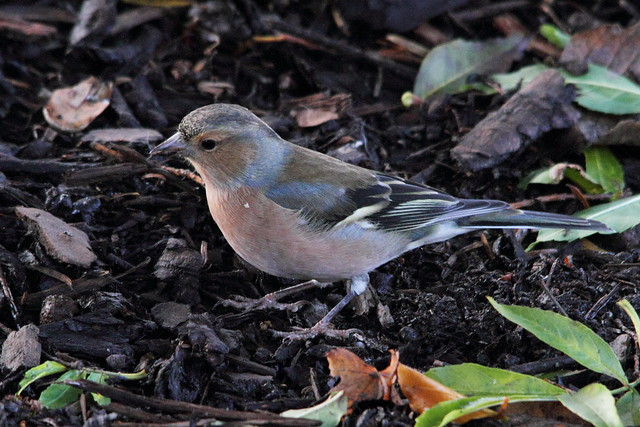 Male Chaffinch, Robert's Park