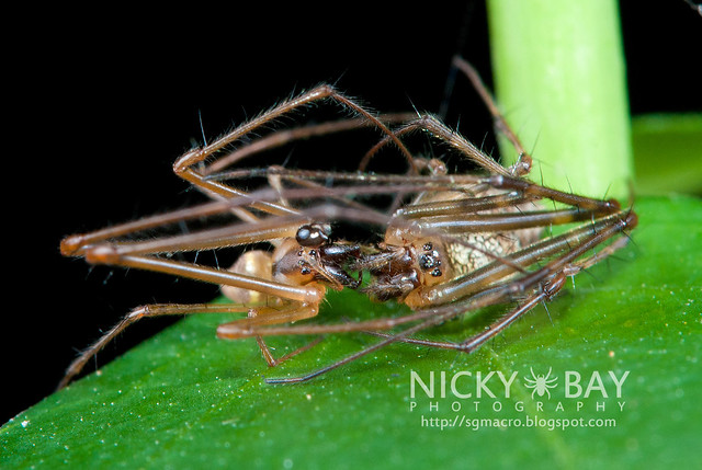 Big-Bellied Tylorida Spiders (Tylorida ventralis) - DSC_3771