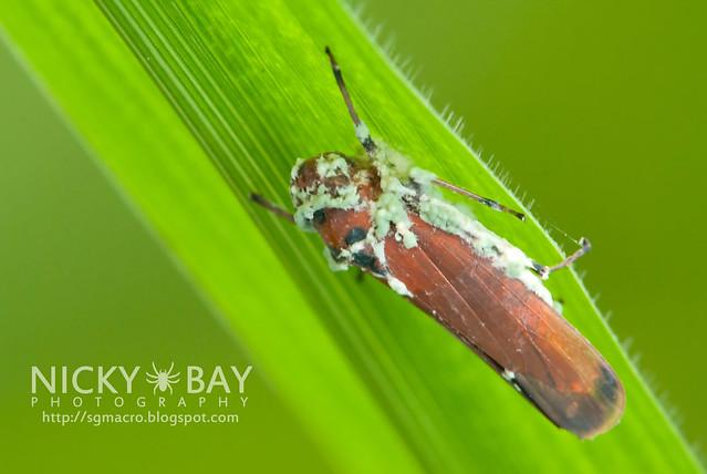 Leafhopper (Cicadellidae) - - DSC_3711
