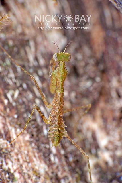 Moss Mantis? (Mantodea) - DSC_2704