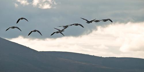 Barnacle Geese, Caerlaverock