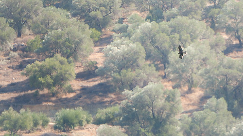 bird landscape flying eagle wildlife aves greece crete predator animalia birdofprey aquila accipitridae chordata canoneos5d vertebrata faneromeni accipitriformes pennata samyang500mmf63mirrorlens