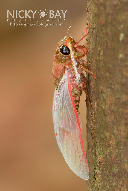 Cicada (Cicadidae) - DSC_1763