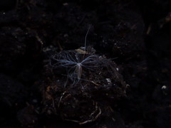 semilla de cerraja en tierra
