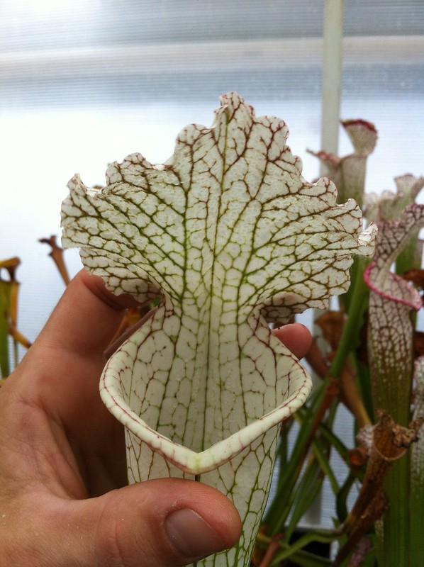 Les peut être dernière photos de leucophylla de 2012 8114649611_fd35ed91ea_c