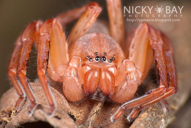 Huntsman Spider (Sparassidae) - DSC_1151