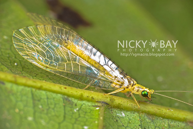 Lacewing (Neuroptera) - DSC_1123