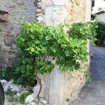 A vine growing in Sablet