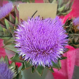 Artichaut fleuri