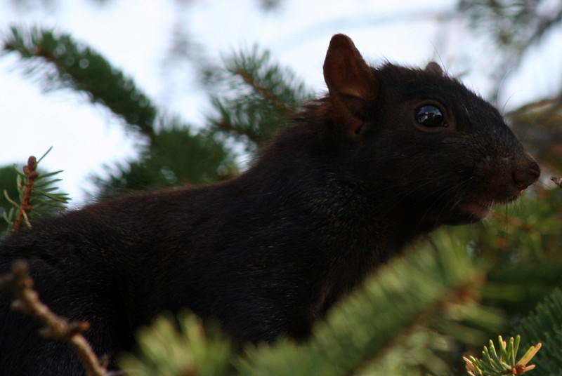Black Squirrel_7900