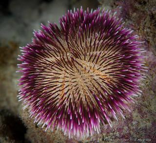 Pebble Collector Urchin (Pseudoboletia indiana)