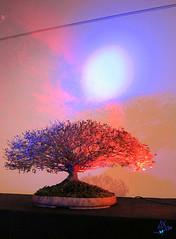 2012 - Exposition bonsaï - Enghien