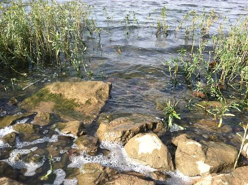 lake seaweed nature water tn hendersonville oldhickerylake