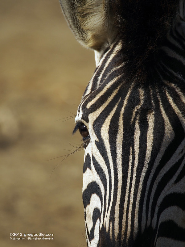 Zebras, Colchester Zoo