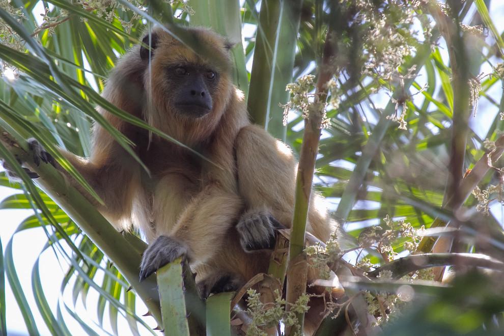 En uno de los varios recorridos que realizamos por los senderos, nos encontramos con este Carajá hembra (Alouatta caraya) entre los árboles. (Tetsu Espósito)