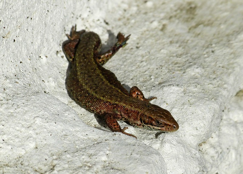28834 - Common Lizard, Garden