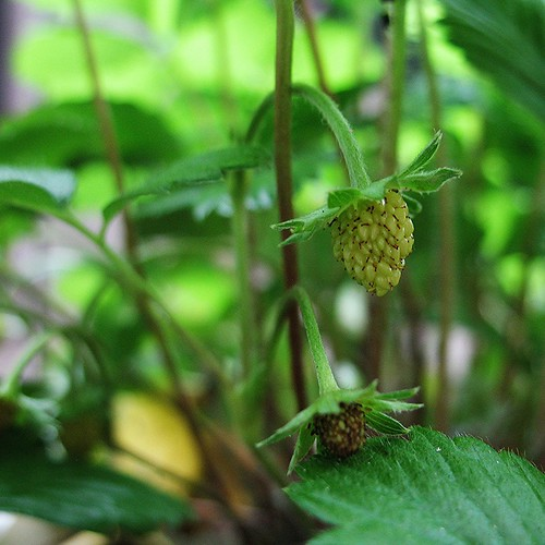 surprise Alpine strawberries