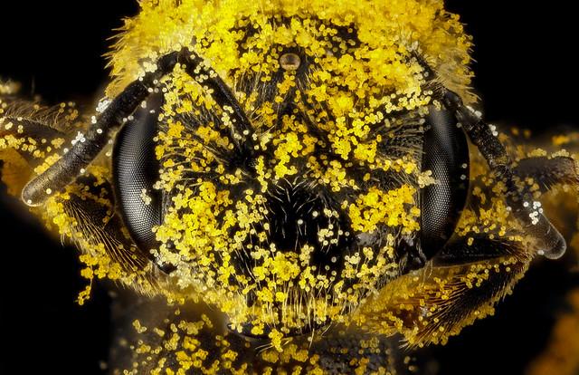 Halictus ligatus, F, face, Philidelphia, PA_2013-01-04-14.44.36 ZS PMax
