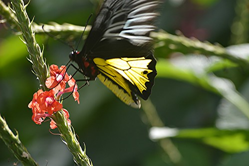 Fluttering Birdwing on coral Porterweed (15) by jungle mama