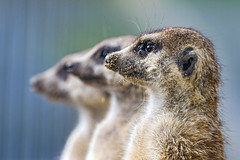[Free Images] Animals (Mammals), Mammals (Others), Meerkats ID:201301261000
