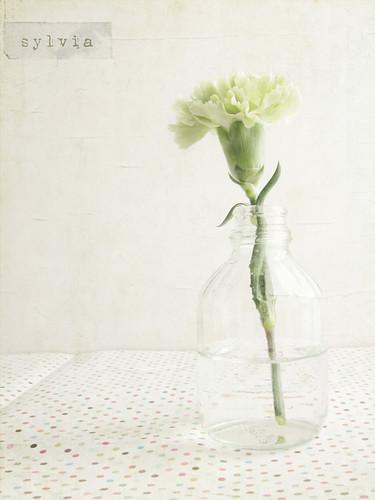 A pretty carnation