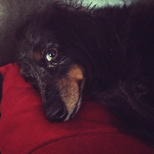 Snuggles with my #dog Maya. Yes, her eyes are blue! :) #dachshund