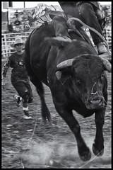 bull_rider_2
