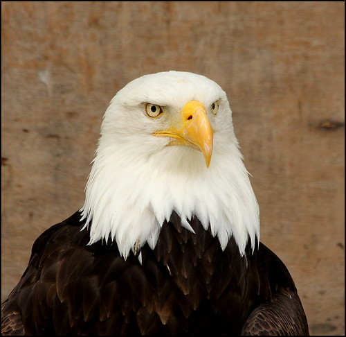 eaglesflying ireland sligo bird haliaeetusleucocephalus baldeagle