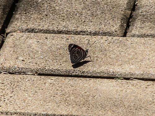 Les chutes d'Igaçu: du côté brésilien aussi nous rencontrons de jolis papillons