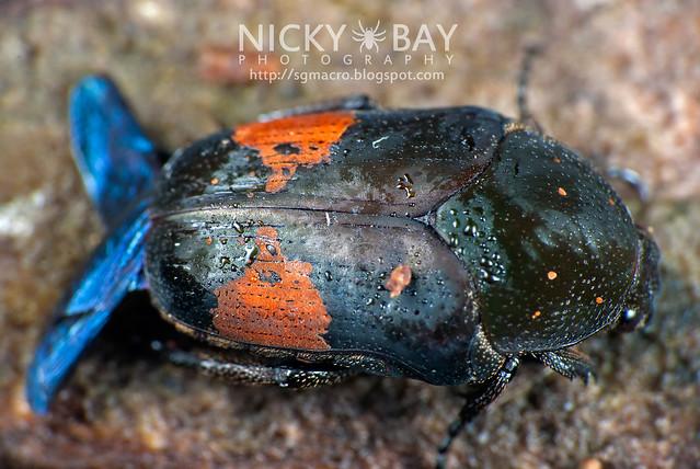Beetle (Coleoptera) - DSC_0753