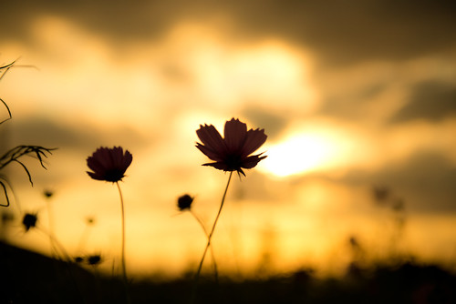 flowers autumn light sunset sky cloud black flower color fall nature silhouette yellow japan photography nikon 日本 秋 cosmos d800 夕焼け 2470mm コスモス f28 下灘駅