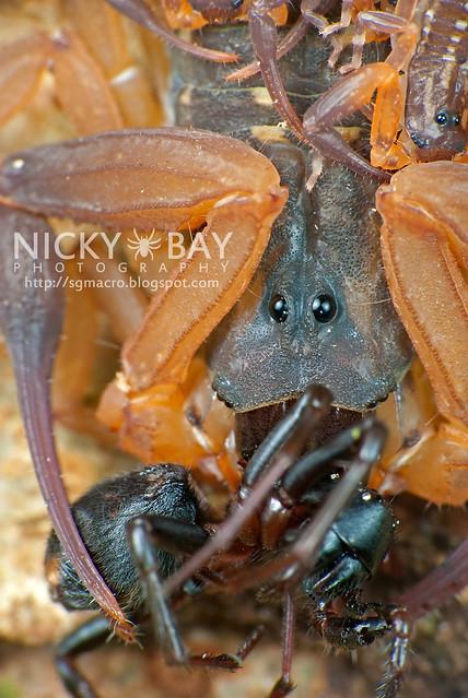 Scorpion (Lychas scutilus?) - DSC_8993