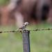 Small photo of Grassland Sparrow (Ammodramus humeralis)