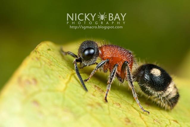 Velvet Ant (Mutillidae) - DSC_7241