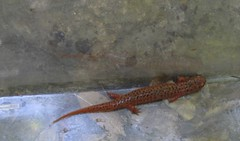 smooth newt(1.0), animal(1.0), amphibian(1.0), newt(1.0), salamander(1.0), reptile(1.0), lissotriton(1.0), fauna(1.0), scaled reptile(1.0),