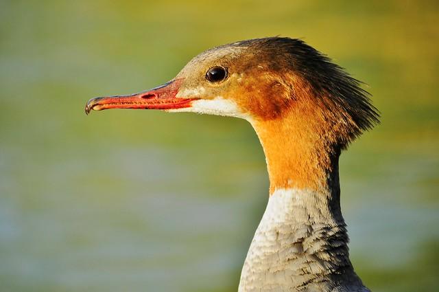 Duck Mergus merganser