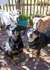 4dogs_101312f