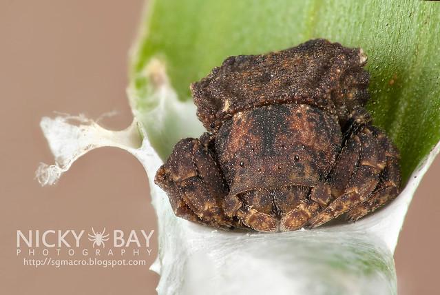 Araignée-crabe (Boliscus sp.) - DSC_5970b