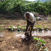 A farmer waters a cucurbit field with a traditional method called furrow irrigation. A drip irrigati