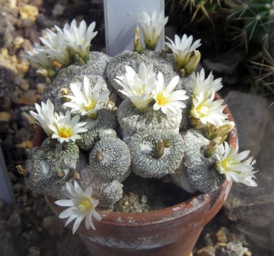 Blossfeldia liliputana 8101804683_b19fbc5f9d_o