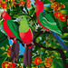 King Parrots : all in the family