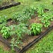 Go Green To Save Money - Growing Your Own Fresh Herbs (3)