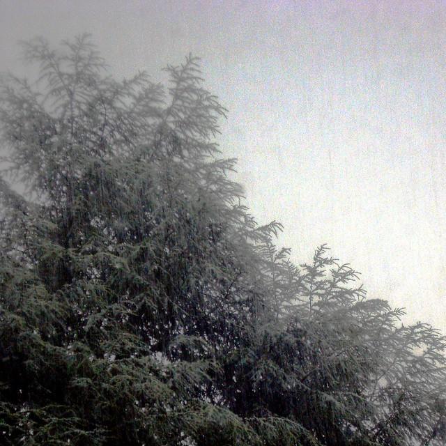 fir and rain