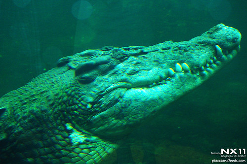 WILD LIFE Sydney Zoo crocodile
