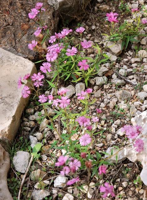 Palaxifolia hookeriana