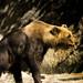 Small photo of Syrian bear