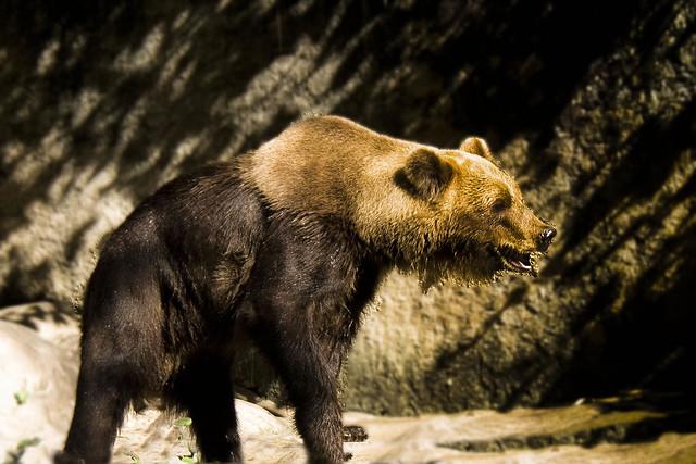 Header of Syrian bear