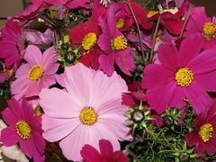annual plant(1.0), flower(1.0), garden cosmos(1.0), plant(1.0), marguerite daisy(1.0), flora(1.0), cosmos(1.0), petal(1.0),