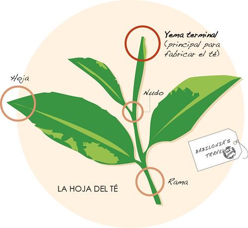 infografía de la hoja del té